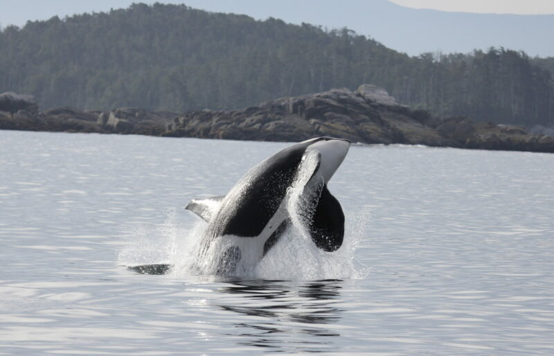 Southern resident killer whale jumping in the air.