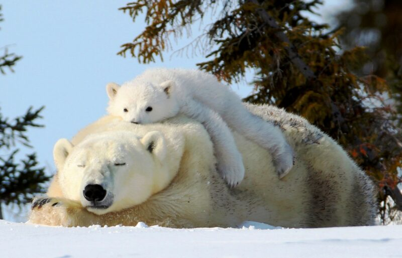 A sleeping polar bear with a young cub lounging on top of it in a snowy field with evergreen trees in the background.