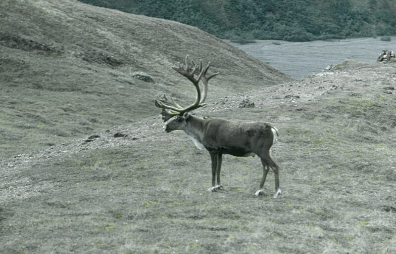 Caribou - R.Sloan