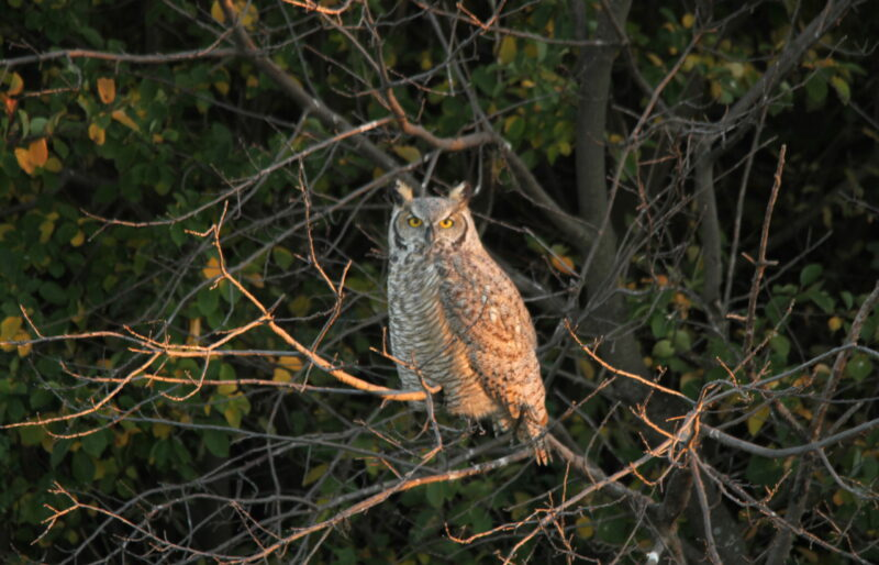 Great Horned Owl - ©C. Olson