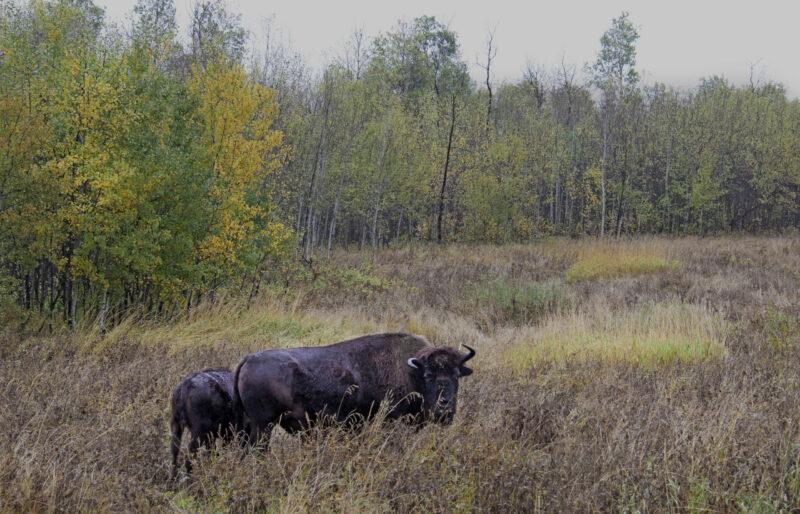 Elk Island Bison ©C. Olson