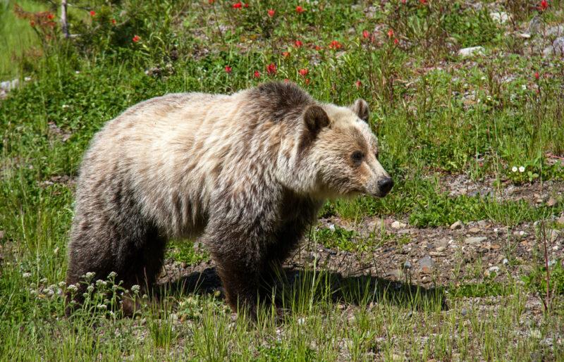 Grizzly Bear ©C.Olson