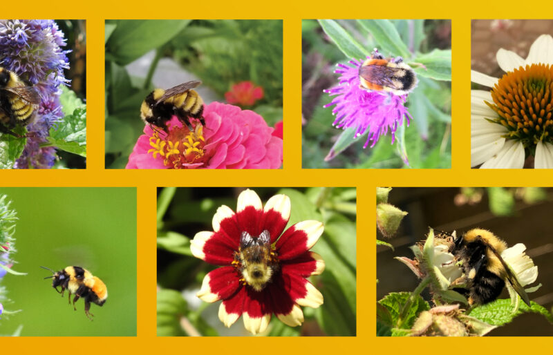 A collection of photos submitted to Friends of the Earth's Great Canadian Bumblebee Count