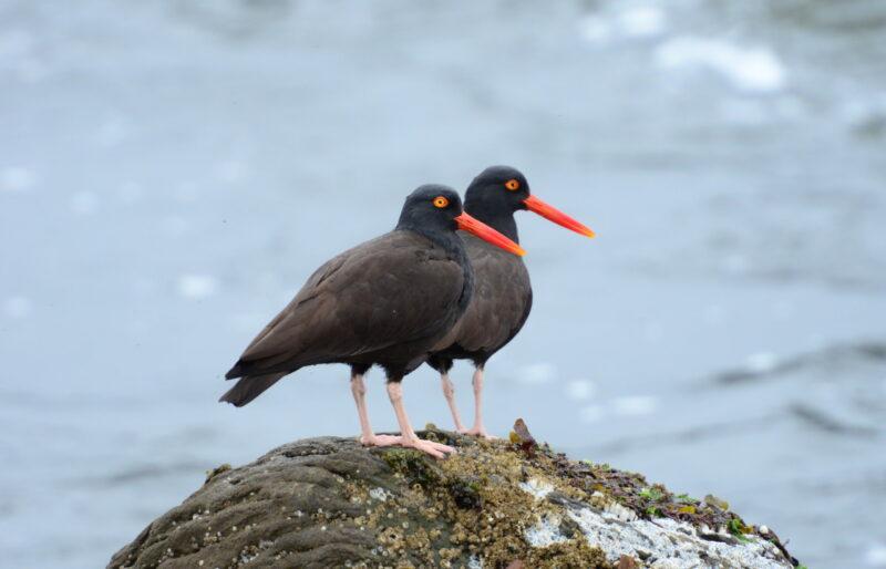 Shoreline birds require habitat protection